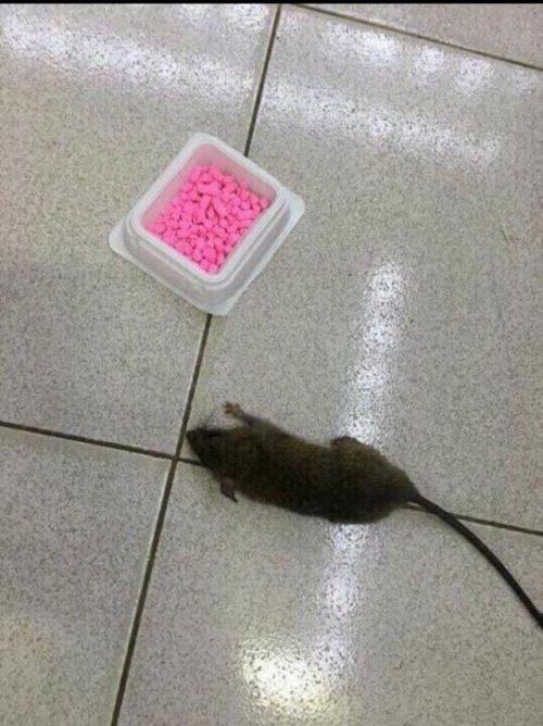 Hướng dẫn cách sử dụng thuốc diệt chuột của Nhật Bản